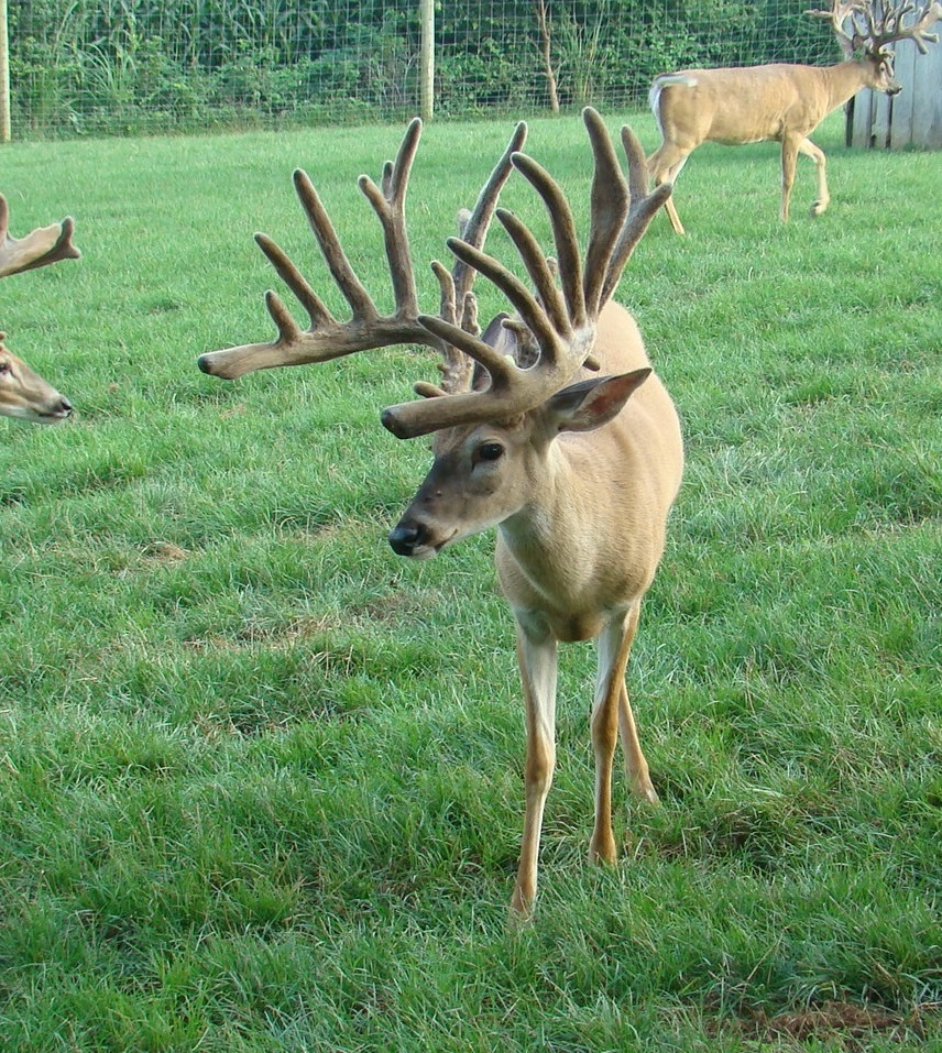 Big Picket Breeder Bucks