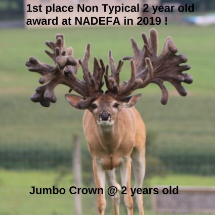 Jumbo Crown at age 2