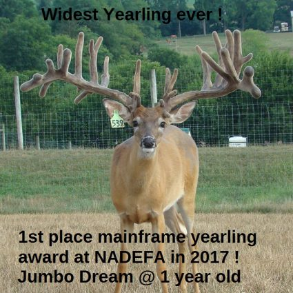 Jumbo Dream at age 1