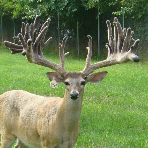 Southern Express Breeder Buck