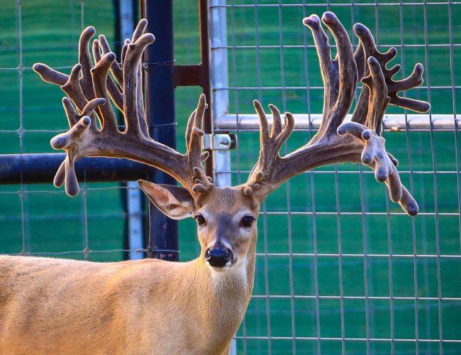 Triple Crown Whitetail Buck