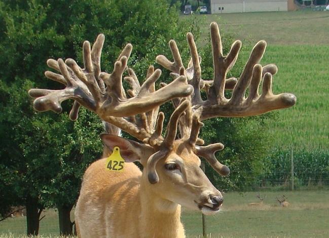 Yellow 425 Whitetail Buck