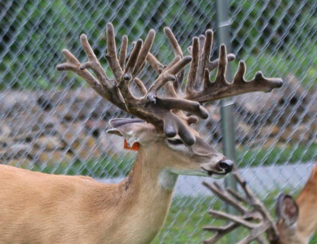 Deer White 842