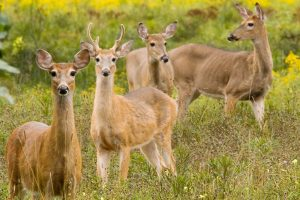 Whitetail Does for Sale